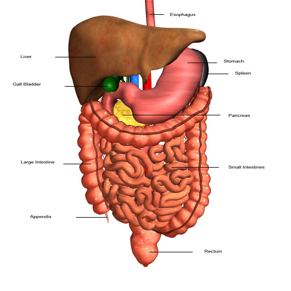 Digestive System Clip Art | digestive system images ...