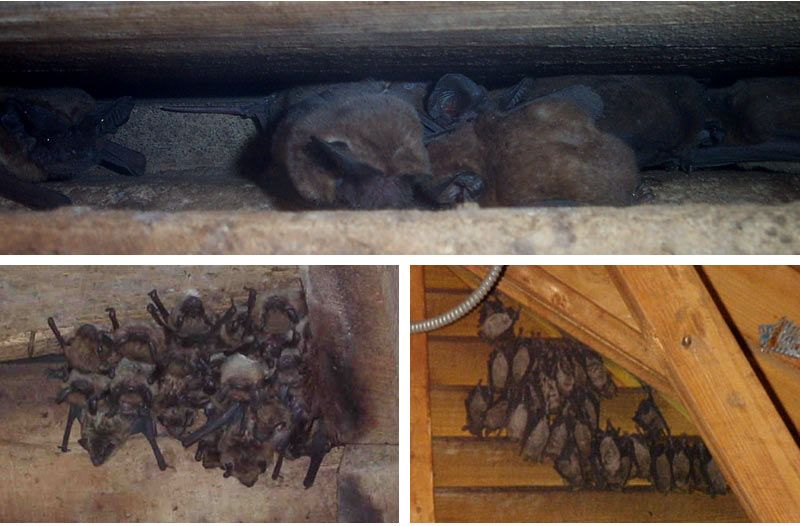 How To Get Rid Of Bats Preventing An Infestation