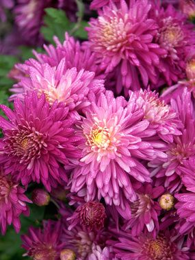 Mum Medicine Bow Bluestone Perennials Flowers Perennials Chrysanthemum Plant Perennials