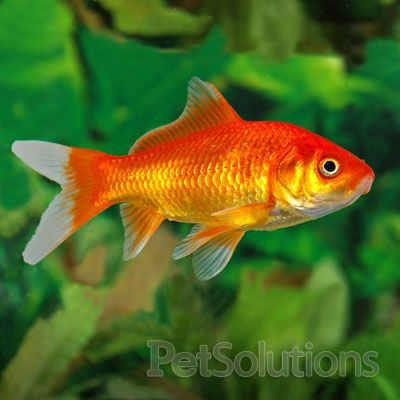 Comet Goldfish: The Most Kept Fish in the Hobby - Live ...