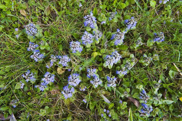 Carpet bugle is an evergreen ground cover that thrives in moist soil.