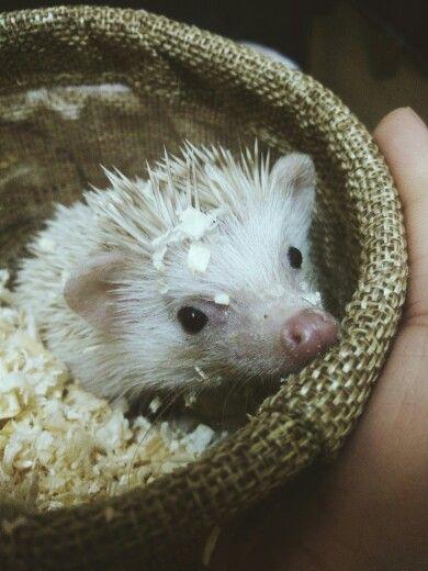 my lovely Hari♡♥ #hedgehog #hedgehogs