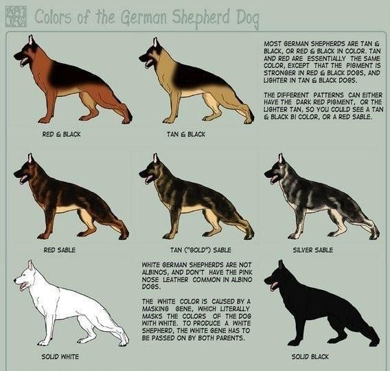 Mark S Shepherd Rescue Dog Information German Shepherd Colors German Shepherd Dogs Dogs