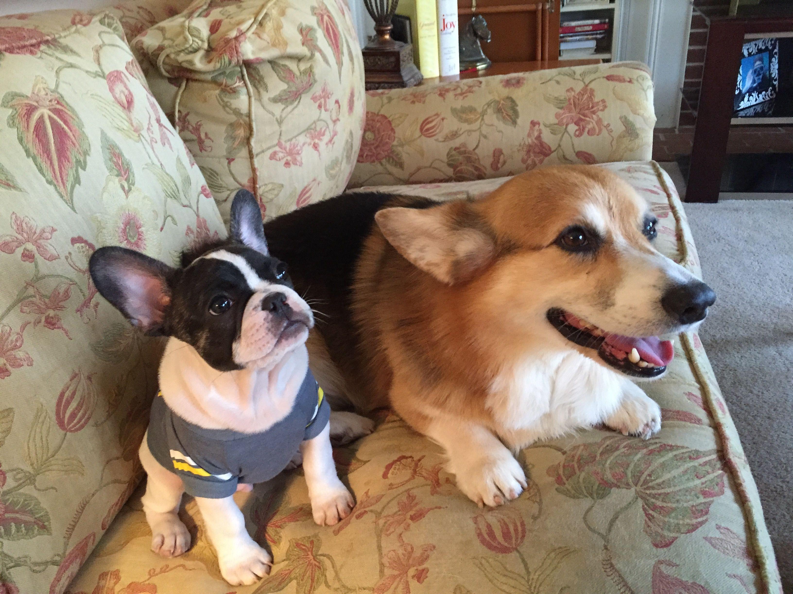 Casey And Al Best Buds Best Bud Boston Terrier Corgi