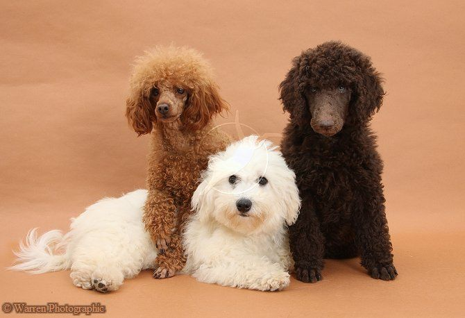 Bichon Standard Poodle Pup And Adult Toy Poodle Poodle Toy