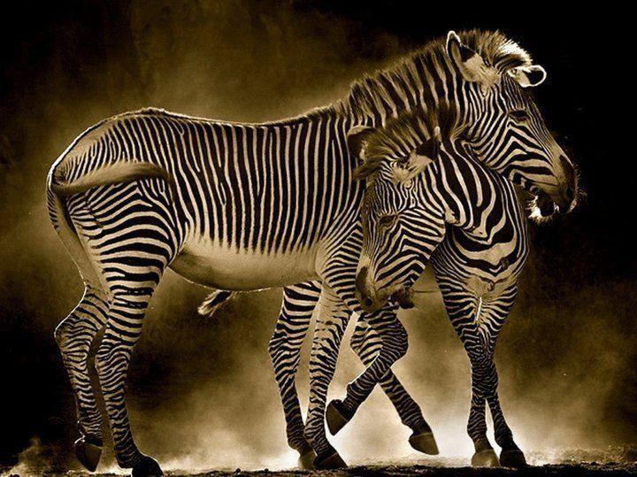 Sweet Zebras ❤