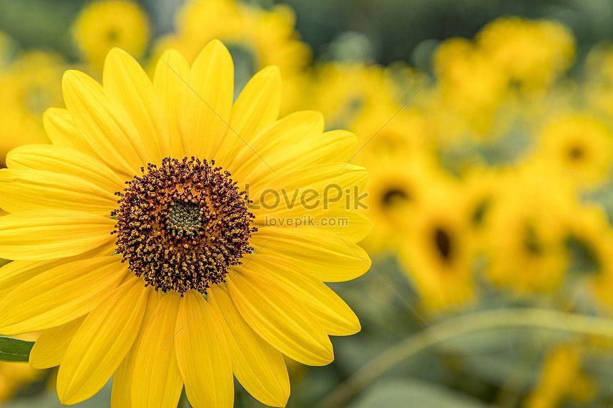 Sunflower Sunflowers Background Outdoor Advertising Digital Media Marketing