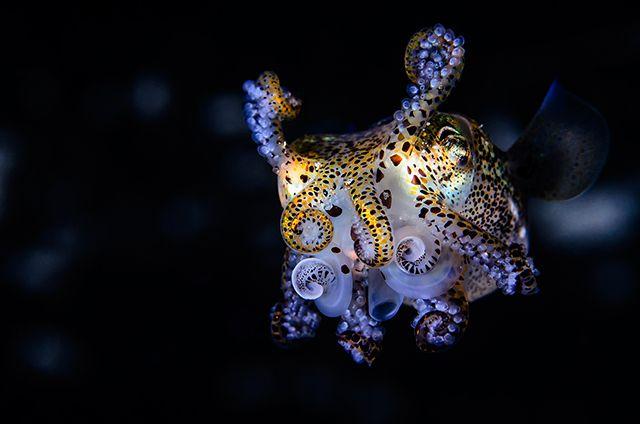 last-rights:  thelovelyseas:  Bobtail Squid (x)