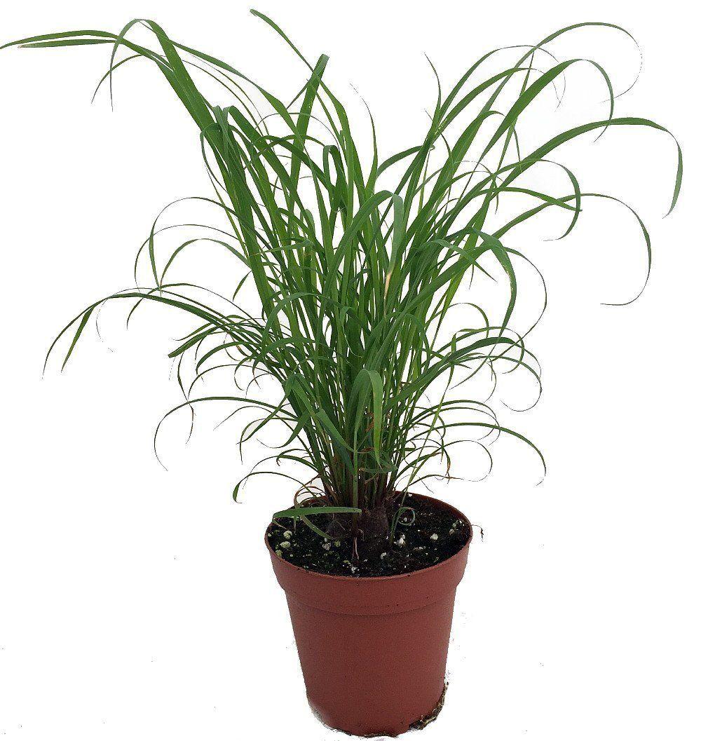 Citronella grass plant ഇഞചപപലല cymbopogon
