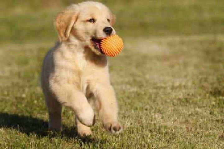 Pin by Robert Wilberger on bob's Baby dogs, Golden dog