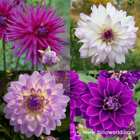 Tulip World Orchid Visions Dahlia Collection 24187 Bulb Flowers Spring Plants Purple Garden
