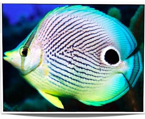 Foureyed Butterflyfish Fish Pet Fish Salt Water Fishing