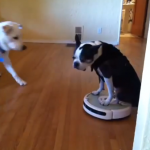 Boston Terrier Rides A Roomba Vacuum In The House