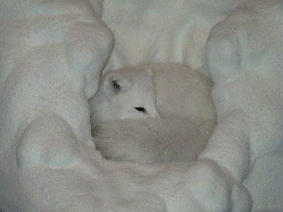 fox sleeping in snow | In Nature | Fox spirit, Spirit