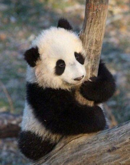 Qlychee Daliy Panda Photos 20120820 Panda Cute Panda Panda Baby Panda