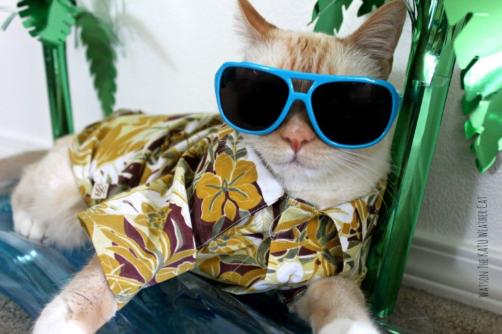 cats in shades and hawaiian shirts Funny cat images, Cat