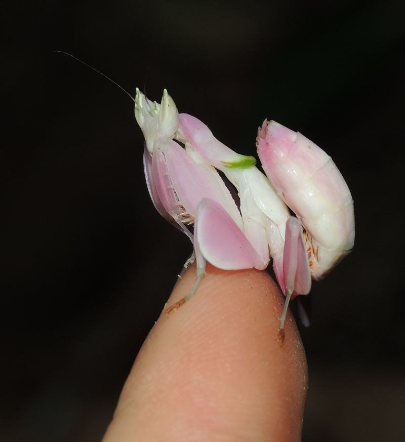"Hymenopus coronatus Orchid Flower mantis ""Kung Fu Mantis"
