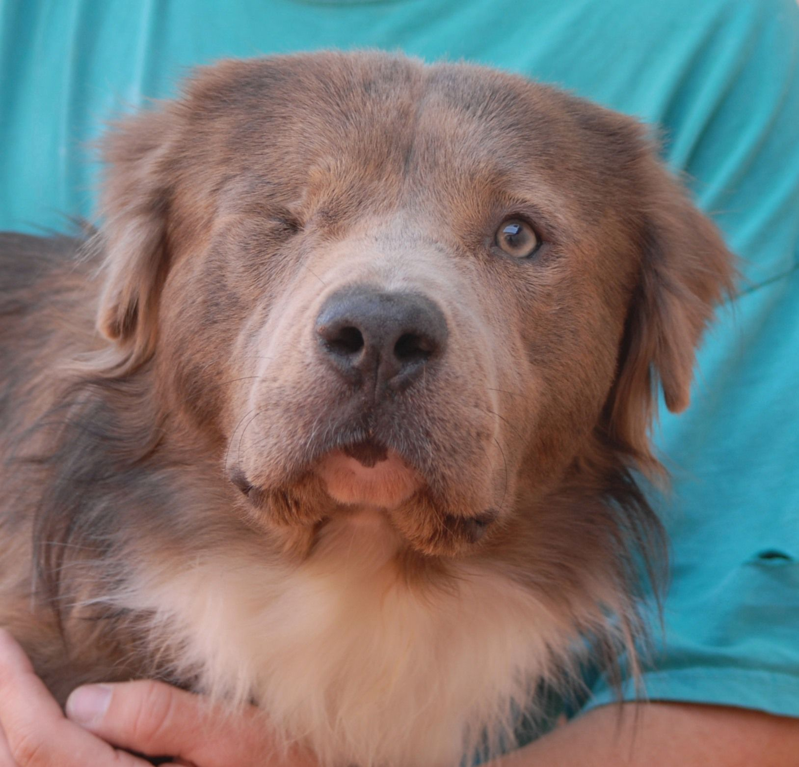 William Is Exceptionally Gentle And Earnest He Wants You To Be Happy With Him William Is An Australian Shephe Dog Adoption Working Dogs
