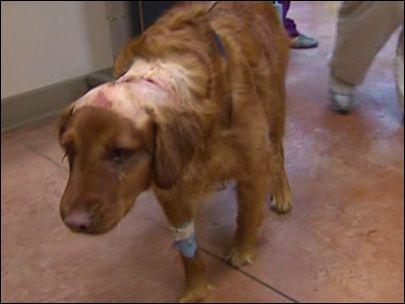 A Golden Retriever Named Kona Miraculously Survived A Merciless