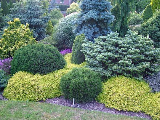 contrasting dwarf conifers evergreen