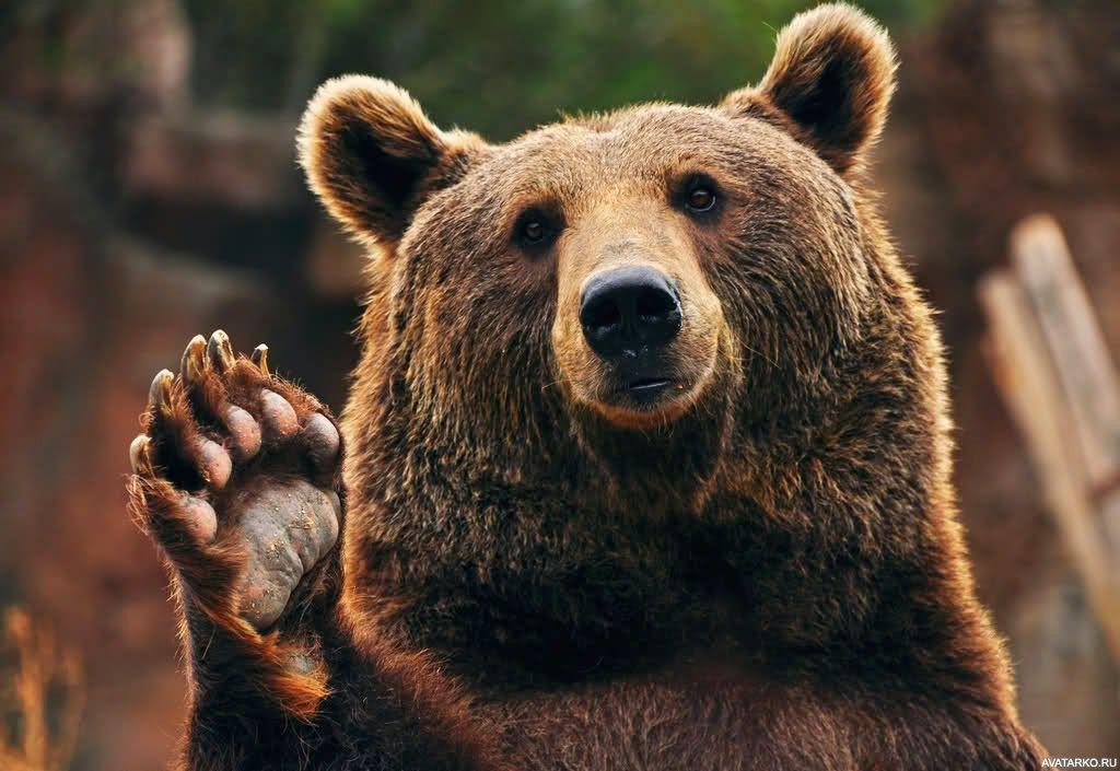 виде картинка медведь машет лапой причина такой