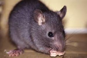 Como Acabar Con Las Ratas En El Campo Pin En Repelentes Caseros Para Insectos