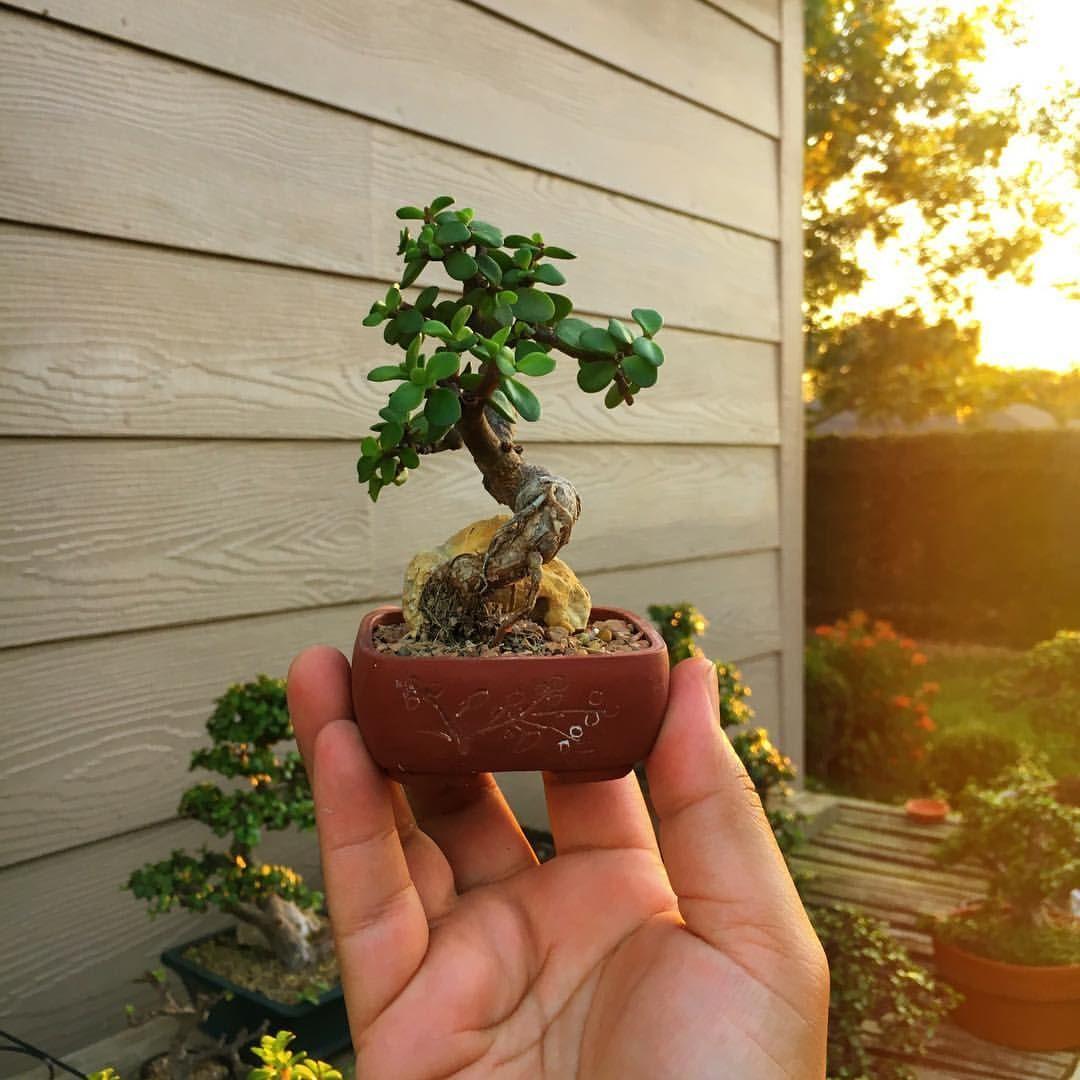 Gilbert Cantu Littlejadebonsai Instagram Photos And Videos Jade Plant Bonsai Jade Plants Bonsai Tree