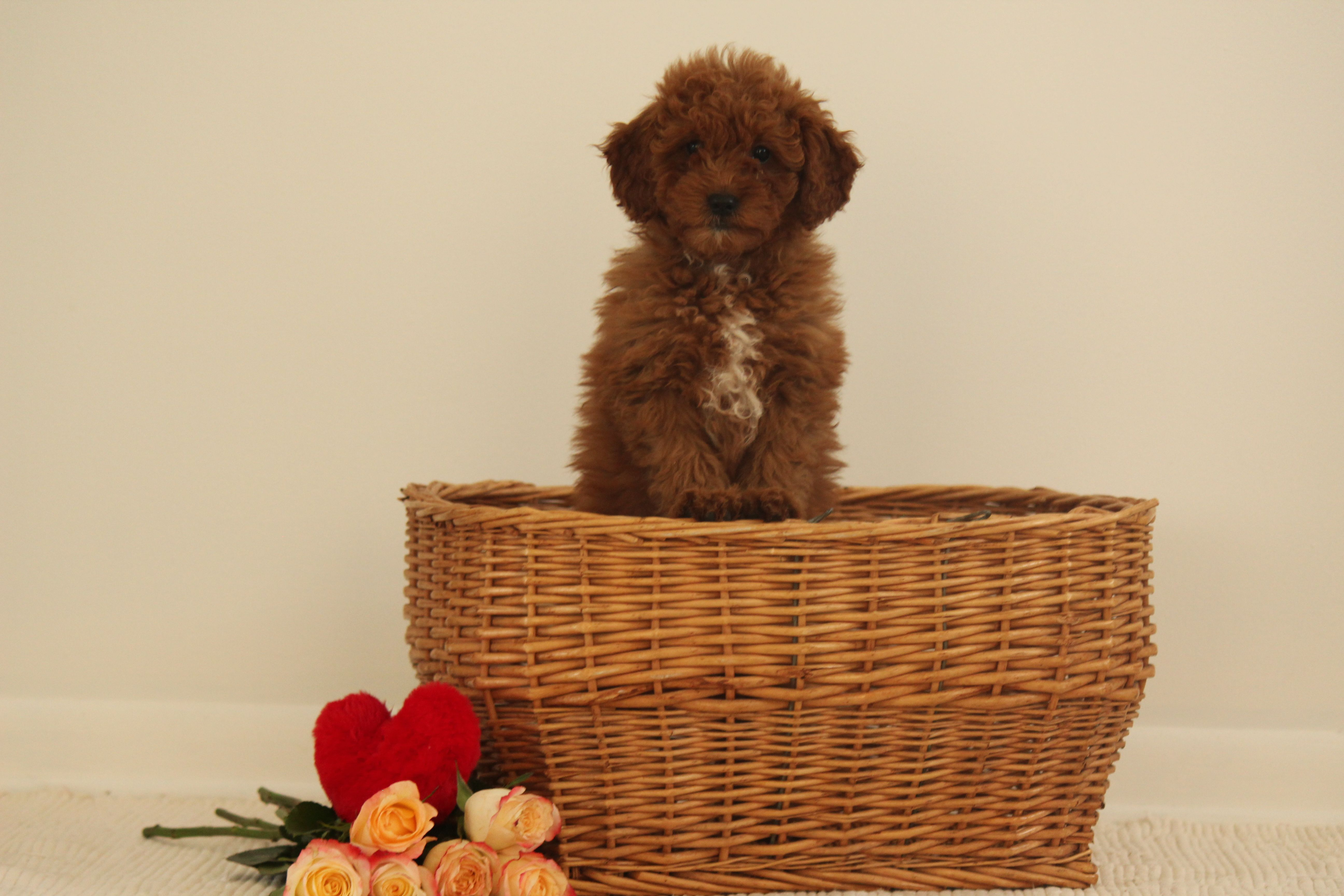 Maxine Puppie F1b Miniature Goldendoodle For Sale Near Wakarusa Indiana In 2020 Puppies For Sale Mini Goldendoodle Puppies Goldendoodle