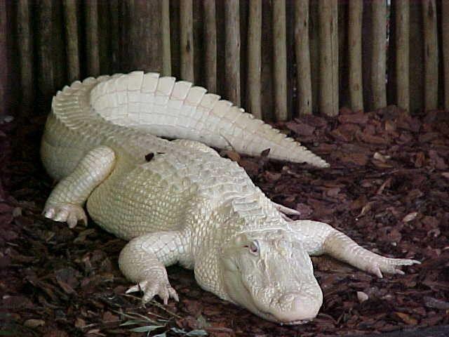 Albino Alligator Legend Has It That Those Who Gaze Upon These Beautiful Reptiles Will Receive Good Fortune Crocodile Animal Albino Animals Alligator