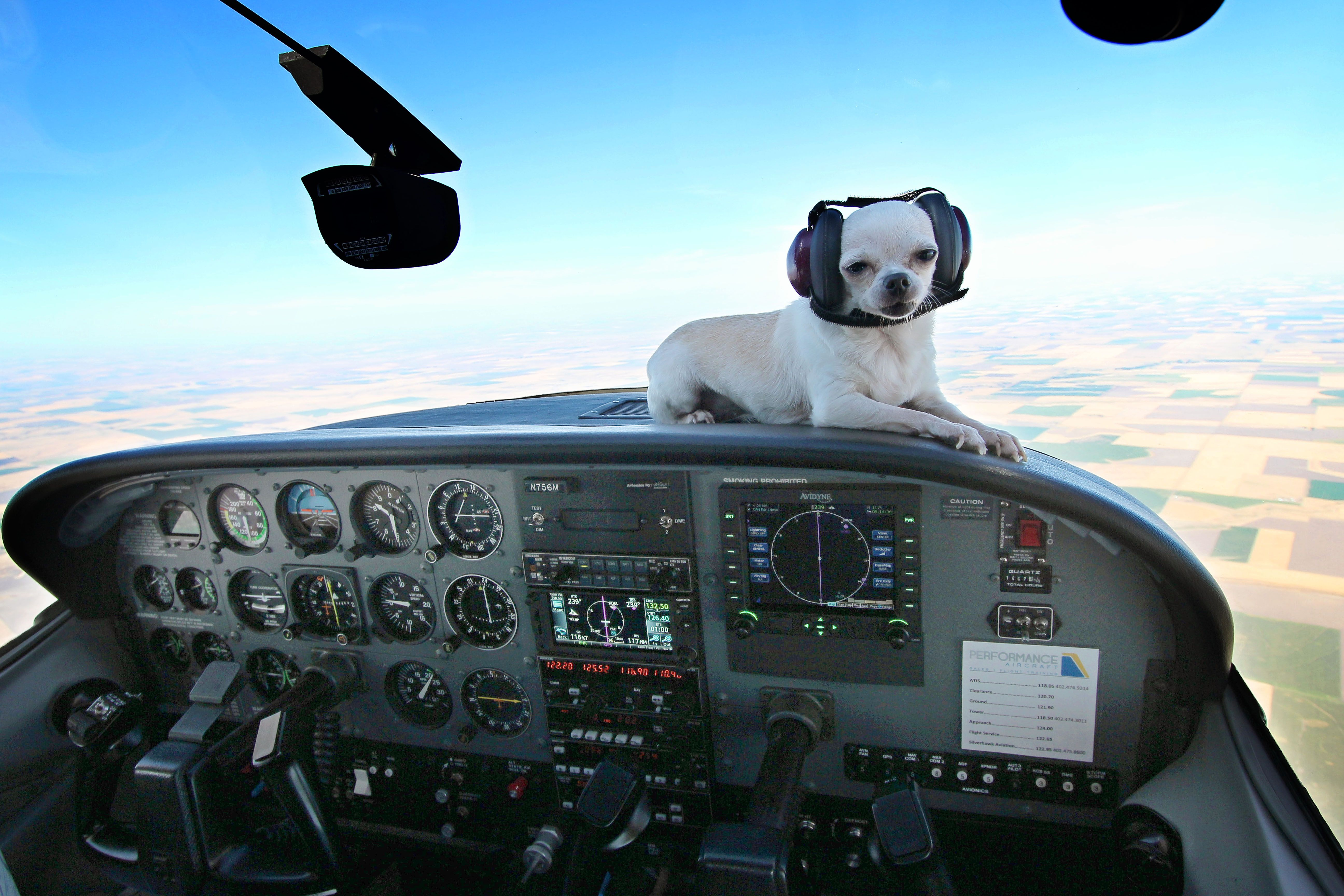 Aviator Chihuahua! Our 8 yr old, 4 lb sweetie flying in a