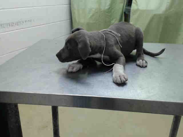 EU DATE MON 04/13/15-RESCUE ONLY-This beautiful Blue girl 429727 Came in with 429726. Both are rescue only. Harris county shelter! 4/13 are the deadline dates unless an extension is requested.