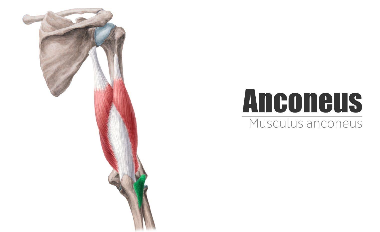 Anconeus Muscle - Origin, Insertion & Innervation   Kenhub   Anatomy ...