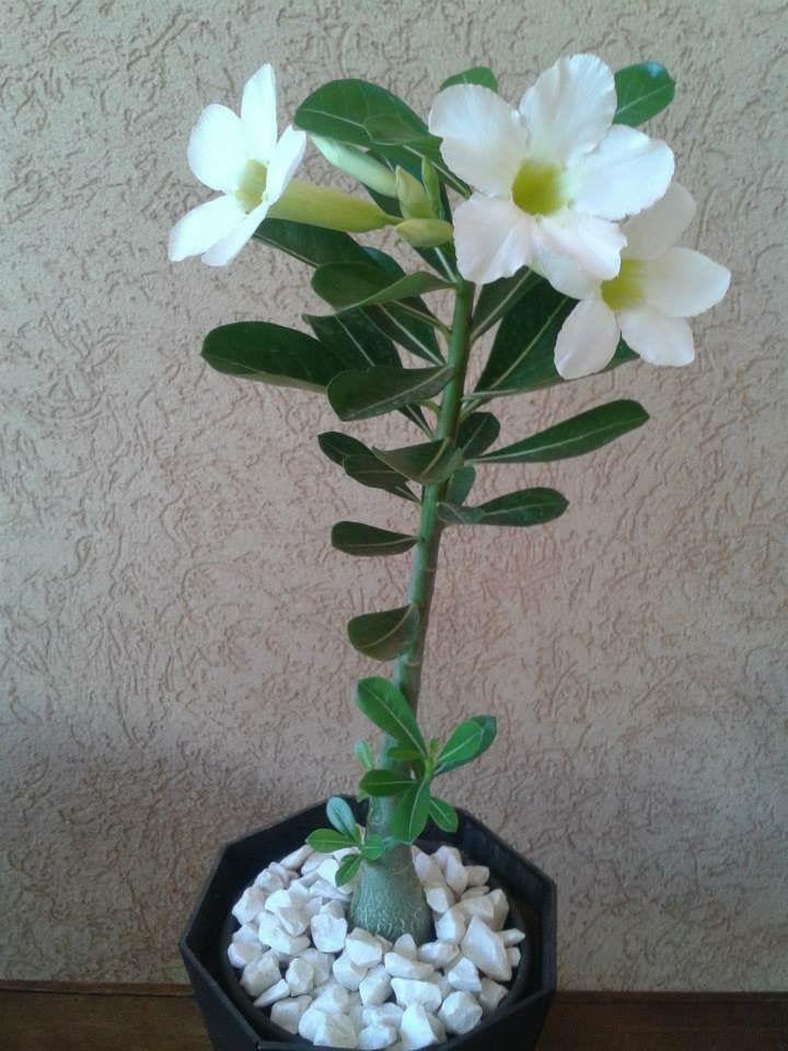 White Desert Rose Desert Roses Pinterest Desert Rose