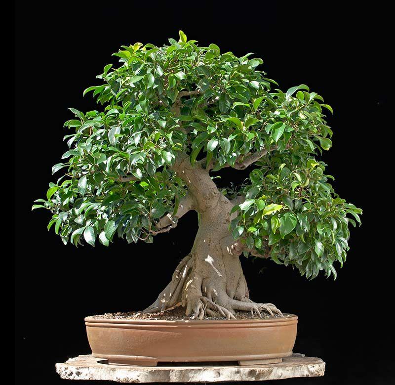 Walter Pall Bonsai Adventures Ficus 1 Bonsai Ficus Ficus Ficus Microcarpa