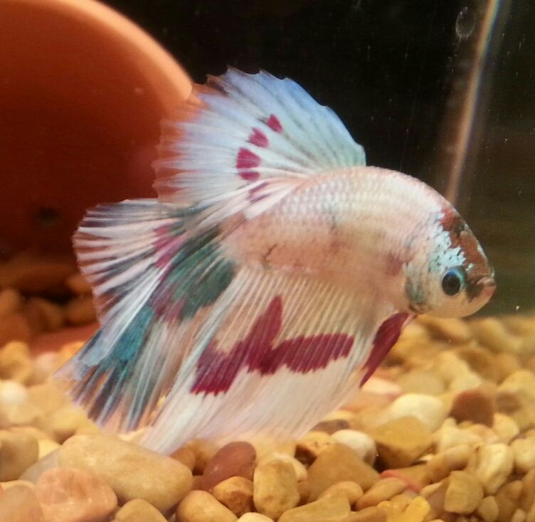 "This is one of my Betta's. His name is ""Painter"""