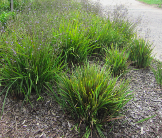 Lucia is a low growing dianella with purple flowers strappy leaf lucia is a low growing dianella with purple flowers strappy leaf plants plants pinterest plants and flowers thecheapjerseys Image collections