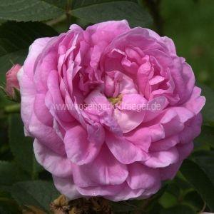 Pin Auf Rosen