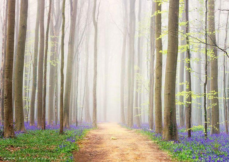 A blue wonderland in Belgium only in spring