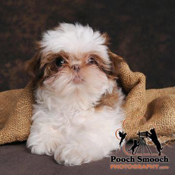 Orange And White Liver Nosed Shih Tzu From Gloryridgecom Shih Tzu