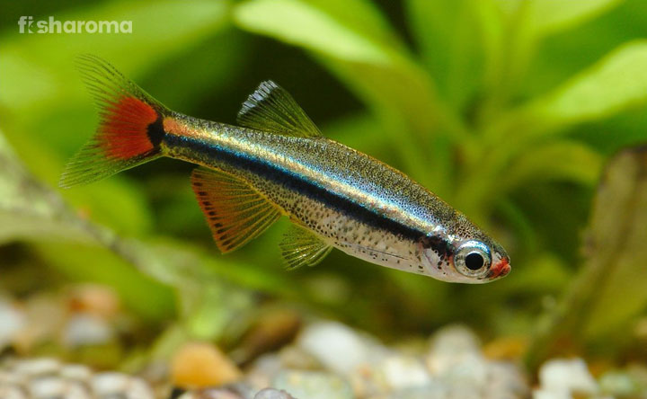 White Cloud Mountain Minnow Know How To Take Care Of This Nano Fish In 2020 Fish Cloud Fish Cool Fish