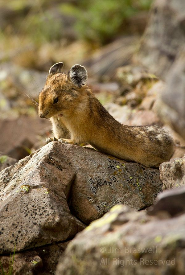 """Fun Friday: """"You Tourists are Boring Me!"""" Pika yawning on a rock on Crater Lake Trail, in Colorado's Maroon Bells area l Show Me Nature Photography"""