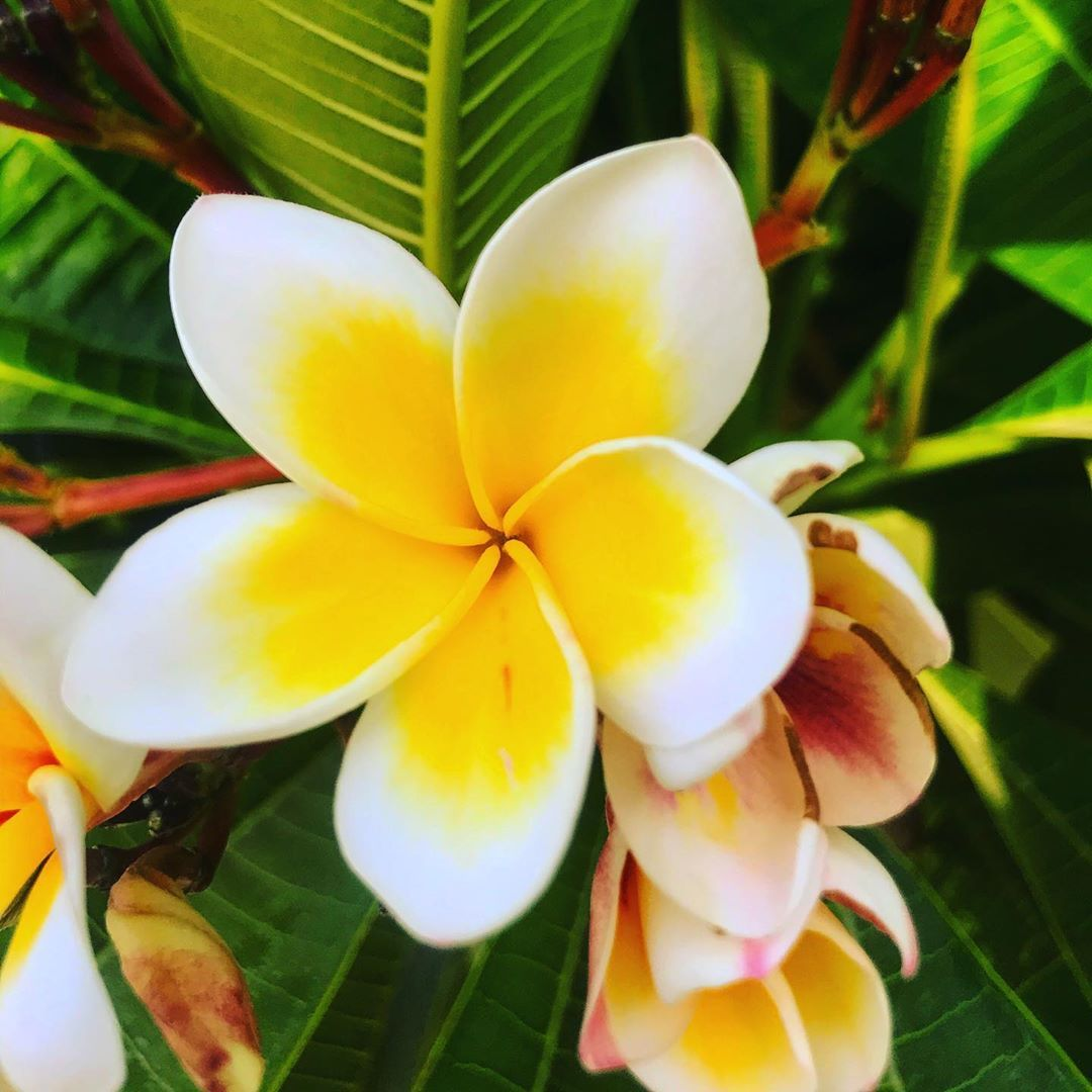 #plumeria #plumeriaflower #plumerialovers #flowers #flowersofinstagram #flowerstagram #captures_flower #flower #flowerphotography #flowerpower #flowers🌸 #flower_shots #flowerscape #flower_keeper_photography #flowerfragrance #fragrancelover #instaflowers #instaflower #instaflowerlovers #instadaily #dailyflower #tree #trees #treesofinstagram #treeoflife #tree_shotz #treeflowers #treeflower #cyprus #instagood