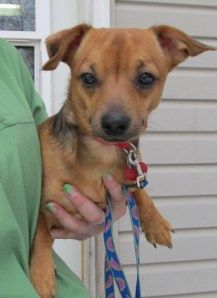 chihuahua rescue wisconsin louie chiweenie a foster dog with wisconsin chihuahua 8956