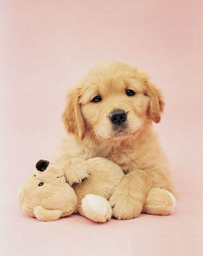 Happy Healthy Perks Of Golden Retriever Puppies Golden Meadows