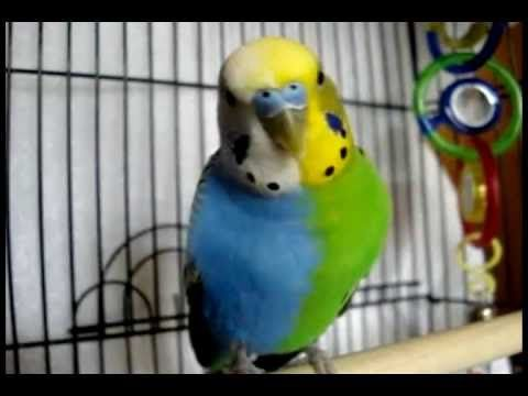 Rare Parakeet Must See Click Here Wow I Can Not Believe This Budgies Parakeet Parakeet Colors