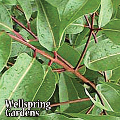 Lemon Eucalyptus Tree Sale Mosquito Repellent Live Plant Ebay