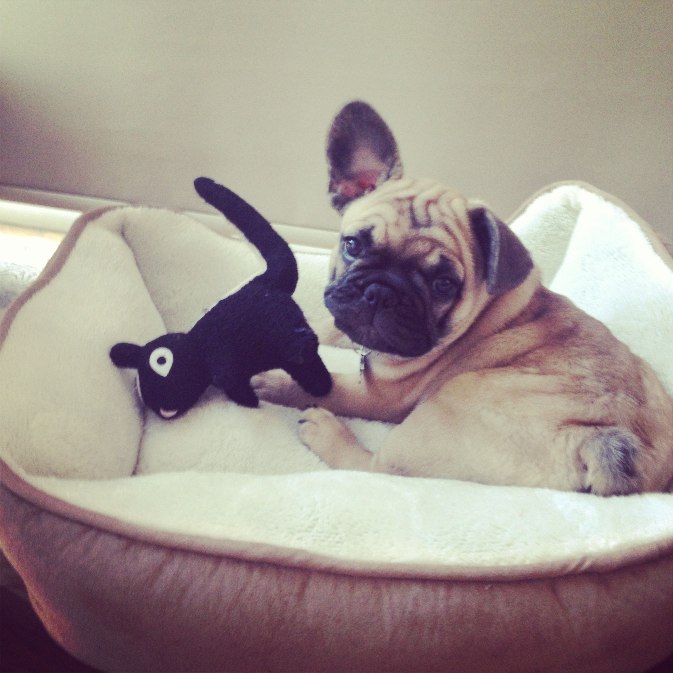 baby Frank with his floppy ear frenchie frenchbulldog