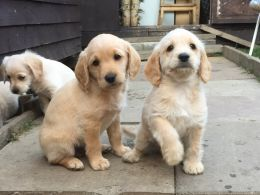 Toy F1 Labradoodle Puppies Inc 1st Vacc F1 Labradoodle Puppies