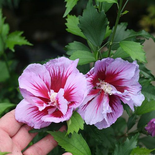 37 of the Best Hibiscus Varieties is part of Rose of sharon, Hibiscus, Growing hibiscus, Hibiscus bush, Purple plants, Hibiscus flowers - With huge, colorful blooms there's nothing quite like hibiscus to enchant your garden  Learn about 37 of our favorite hibiscus varieties on Gardener's Path