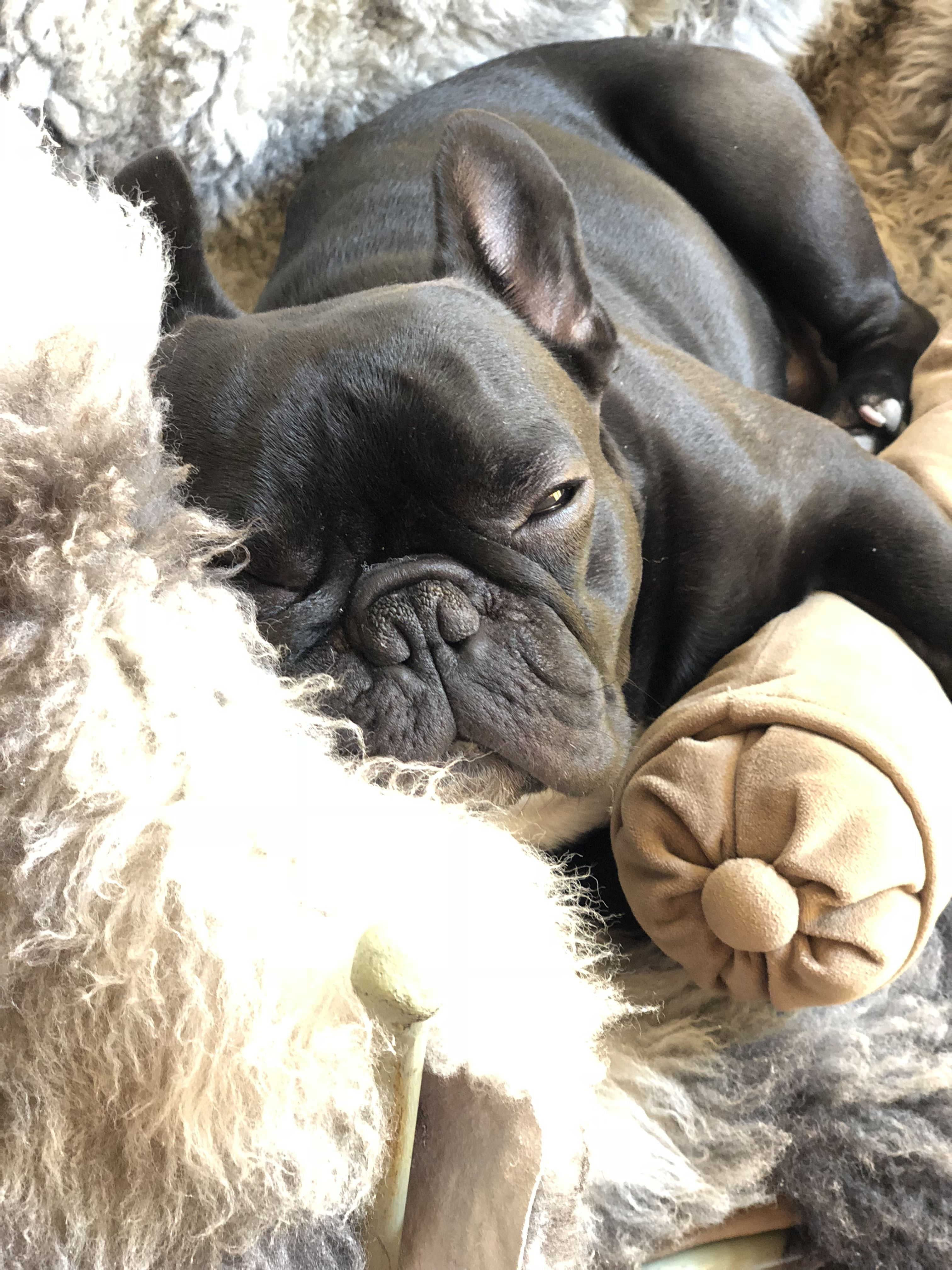 Pin by Jennie Walker on Frenchies French bulldog